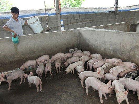 thịt heo hữu cơ, thit heo huu co, thịt heo sạch, thit heo sach, chăn nuôi thịt heo sạch,