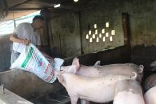 thịt heo hữu cơ, thit heo huu co, thịt heo sạch, thit heo sach, chăn nuôi lấy thịt heo sạch