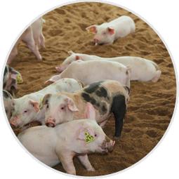 sản xuất thịt heo hữu cơ auaufarm